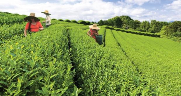"""ქართული """"პრიორიტეტული"""" ჩაის განვითარების პროგრამაზე გამოყოფილი თანხა შემცირდა"""